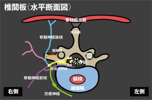 椎間板の支配神経|脊椎洞神経