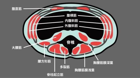 腹部筋肉の横断面図|胸腰筋膜