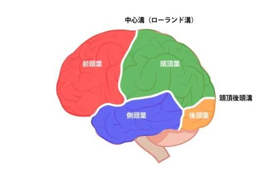 大脳皮質|前頭葉、頭頂葉、後頭葉、側頭葉②