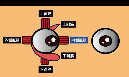 眼の筋|内側直筋
