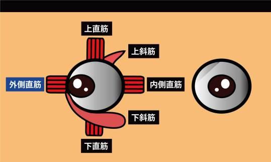眼の筋|外側直筋