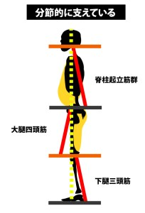 立位姿勢|分節的な筋収縮で立位姿勢は保持されている