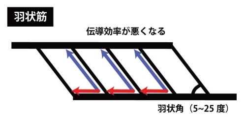 羽状筋の伝導効率