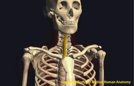 胸骨舌骨筋