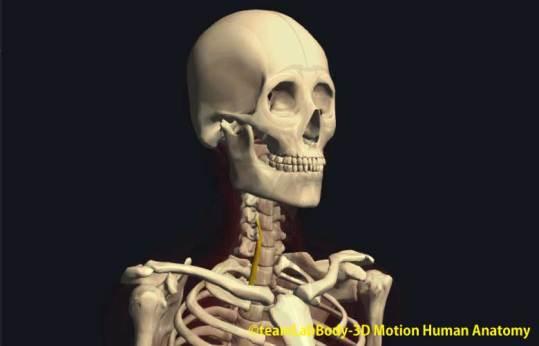 頚長筋下斜部