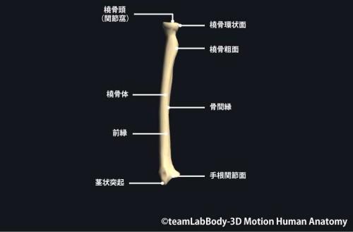 橈骨前面|各部位の名称