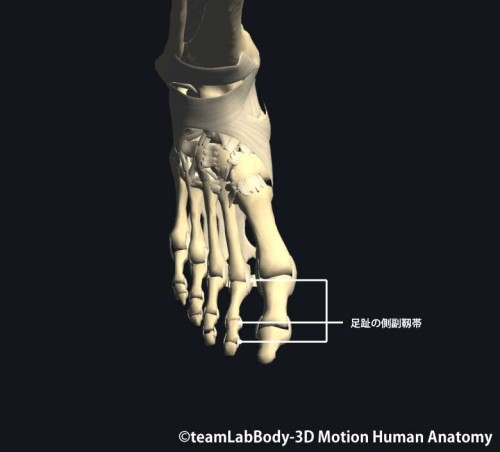 足趾の深層靱帯|側副靭帯