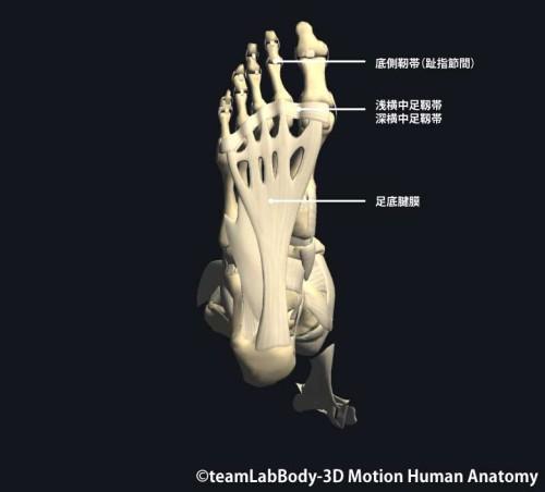 足趾足底の靱帯