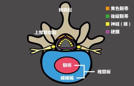 腰椎の断面解剖図