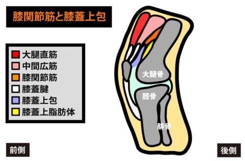 膝関節筋と膝蓋上包1