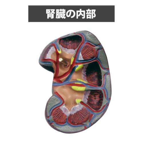 腎臓の内部