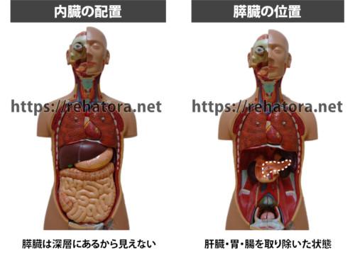 膵臓の場所