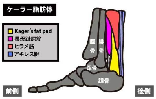 ケーラー脂肪体