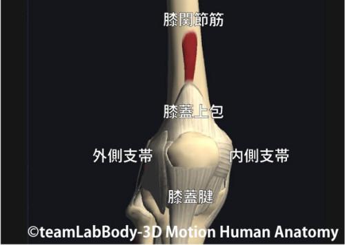膝関節筋と膝蓋上包
