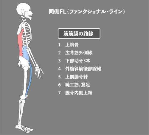 広背筋:筋膜:同側FL