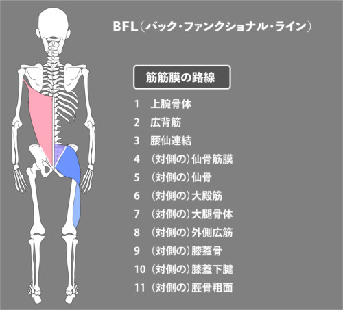 広背筋:筋膜:BFL