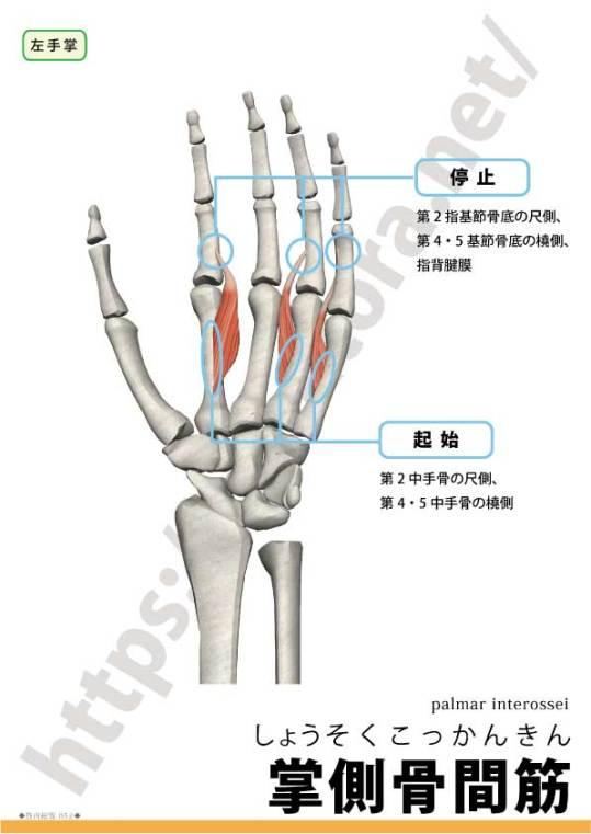 掌側骨間筋の起始停止