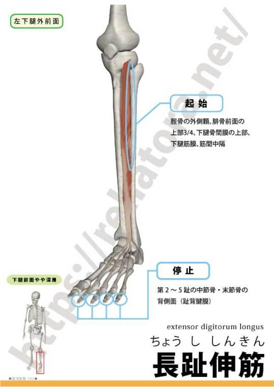 長趾伸筋の起始停止