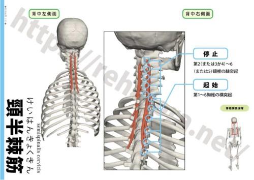 頸半棘筋の起始停止