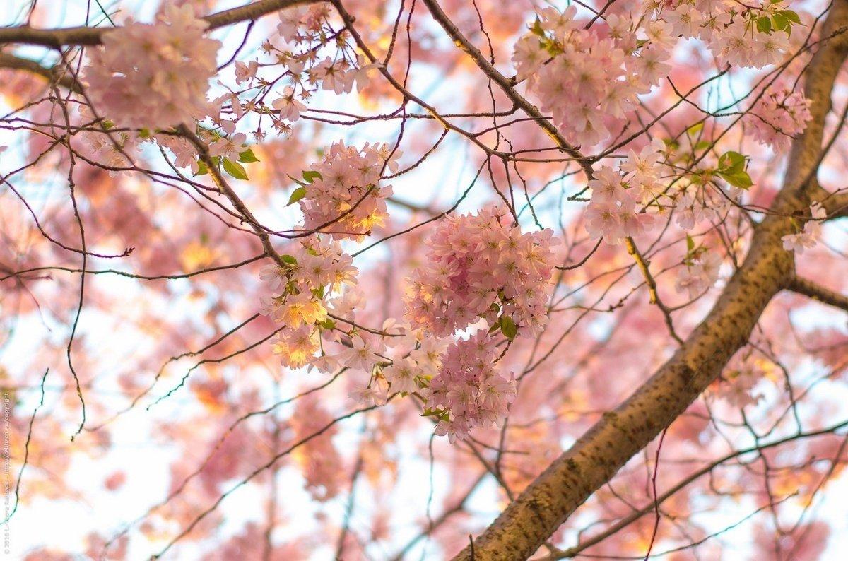 Frühling, Kirschblütenzeit