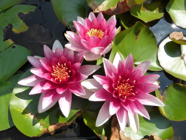 pink water lillies3