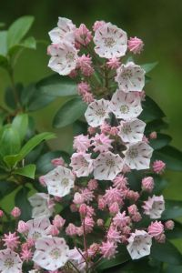 pink mountain laurel