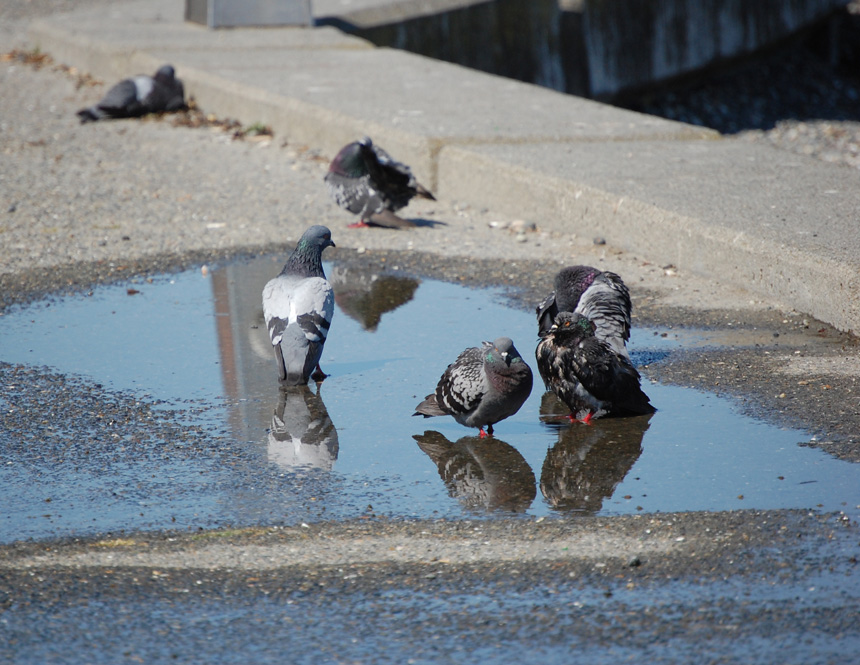 Alki Pigeons Beat the Heat