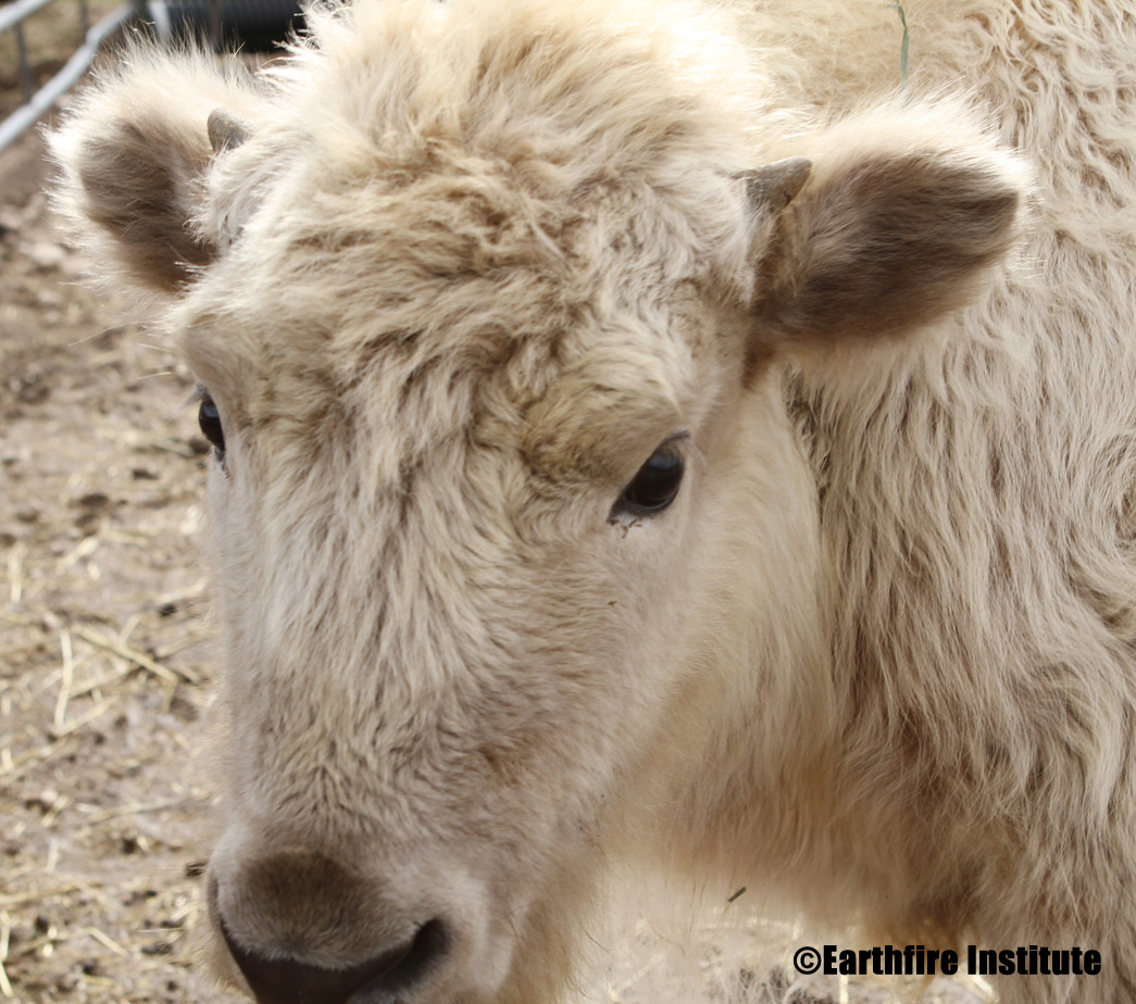 Journey For The Little White Buffalo Calf's Name