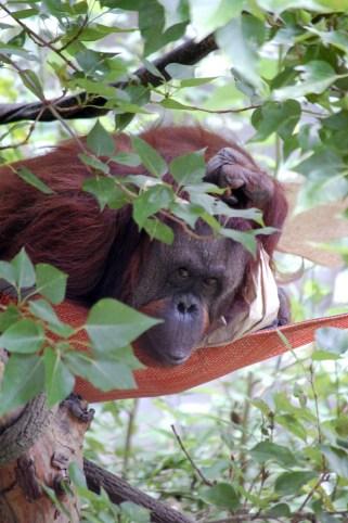 Orangutan Hammock, Woodland Park Zoo ©Rose De Dan 2012