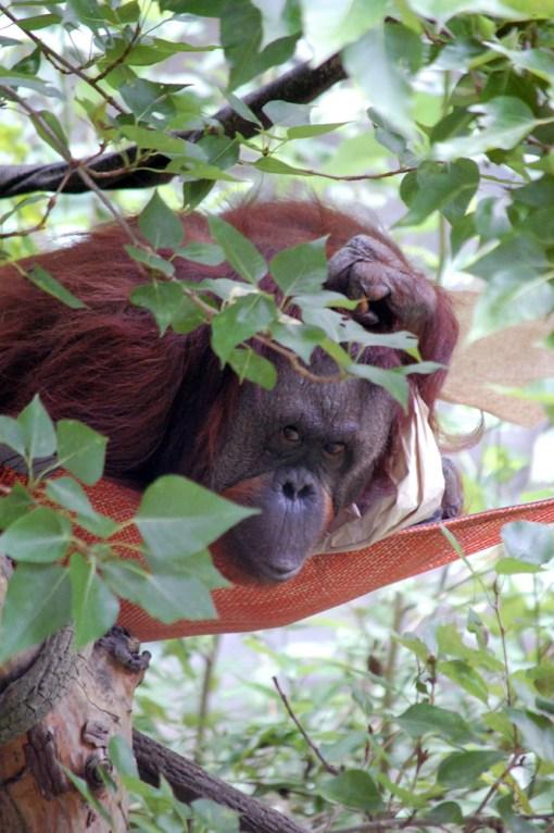 Orangutan Gaze ©2013 Rose De Dan www.reikishamanic.com