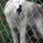 2089 Gray Wolf Spruce heart web
