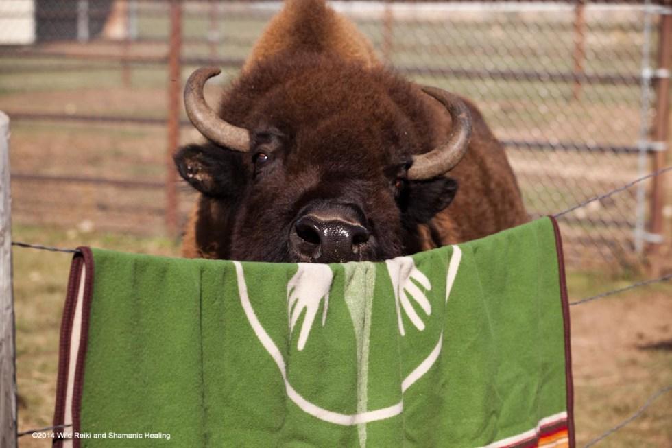 Bluebell tastes the Buffalo Blanket, Photo ©2014 Andrew Hinton, www.reikishamanic.com