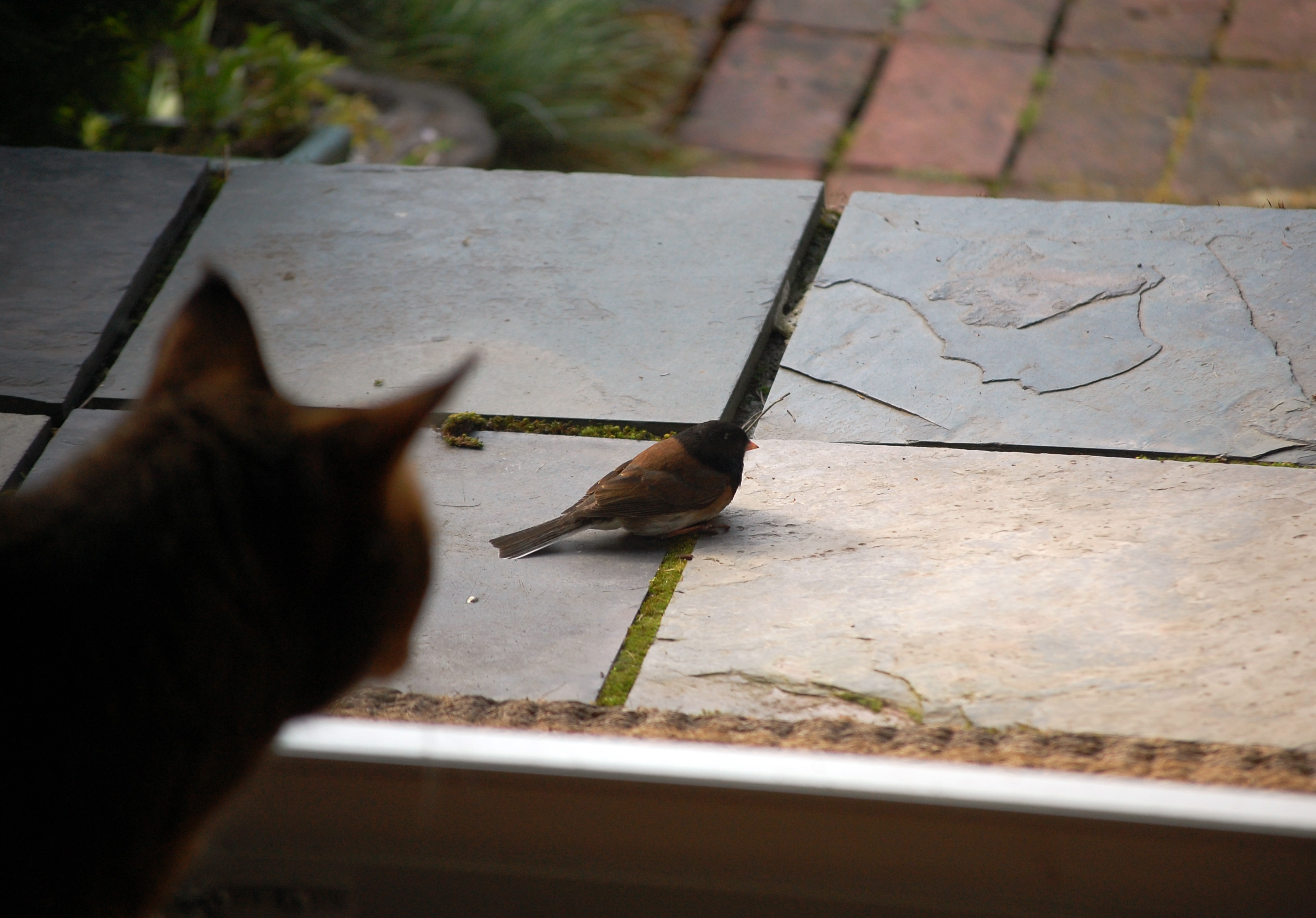 Cat Cougar Looks At Junco Receiving Reiki