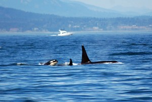 Audio Whale Teachers #3: Humpback Whales And Orcas
