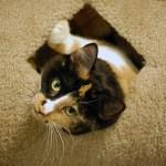 Sweet Pea at MEOW Cat Rescue, ©Rose De Dan www.reikishamanic.com