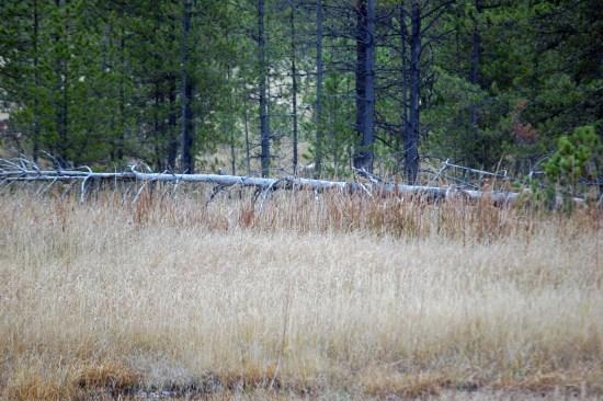 Coyote feeding, Yellowstone, ©Rose De Dan 2015 www.reikishamanic.comDan