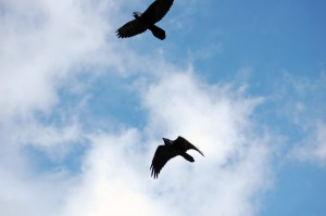Ravens appear at kill site, Yellowstone, ©Rose De Dan 2015 www.reikishamanic.com