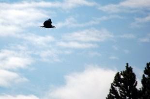 Bald Eagle, Yellowstone, ©Rose De Dan 2015 www.reikishamanic.com