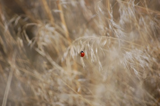Ladybug on Grass at Buffalo Jump, ©Rose de Dan www.reikishamanic.com