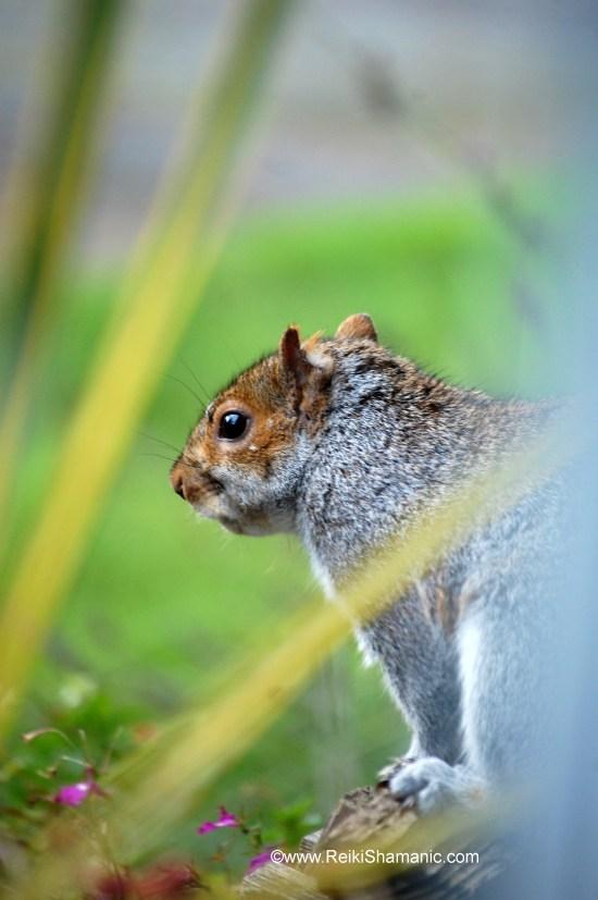 Secret Agent Squirrel Visits, ©Rose De Dan www.ReikiShamanic.com