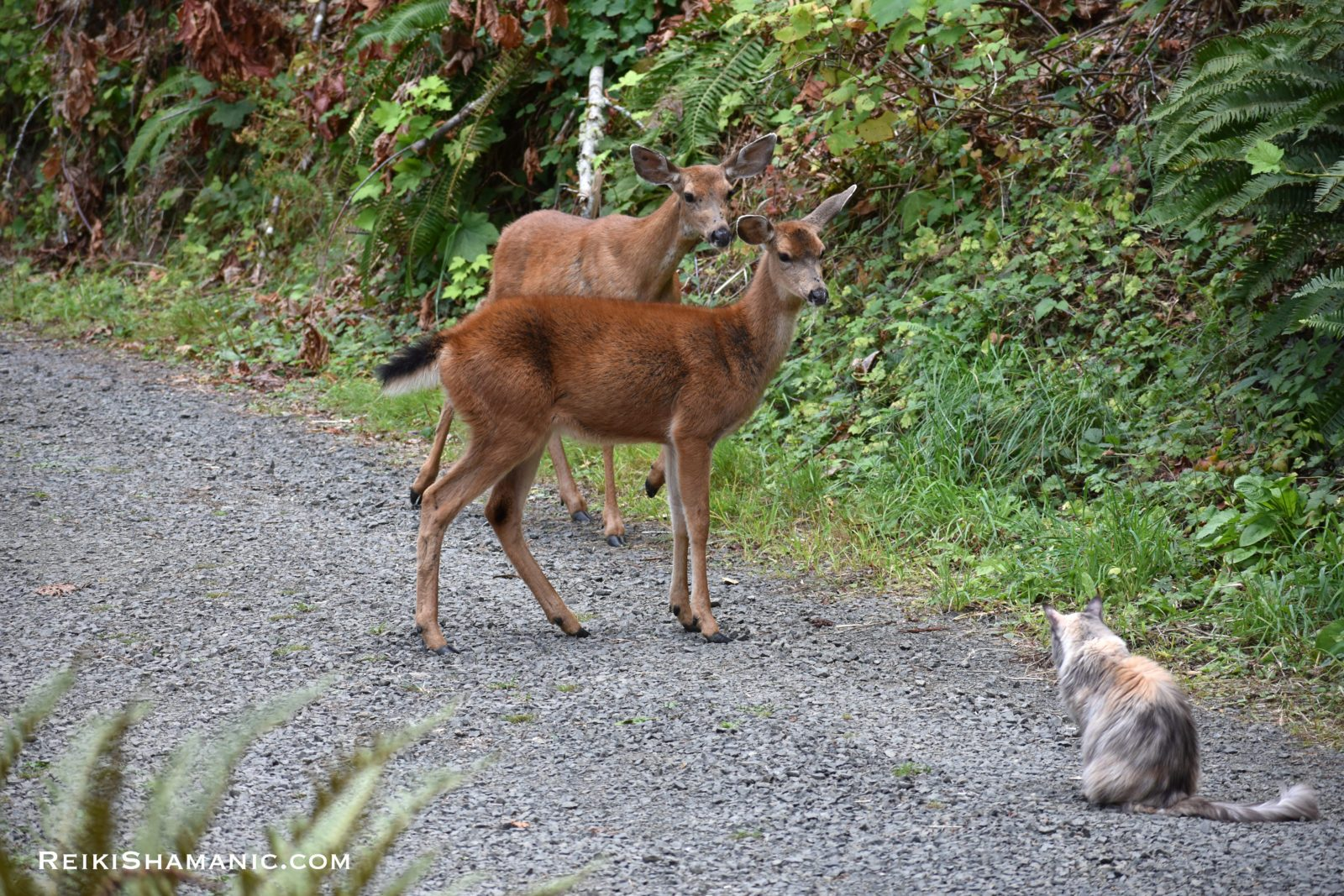 Mama Deer Meets Cat Tribe, ©Rose De Dan. Animal Communicator Reiki Master Shamanic Energy Healer