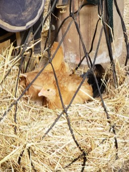 How many chickens fit in a hay net?