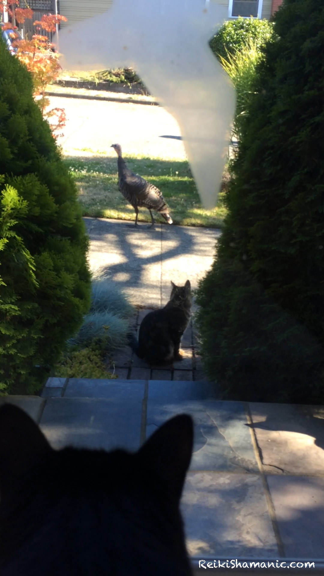 Video: Free Roaming West Seattle Turkey Admiral Belvidere Stops By