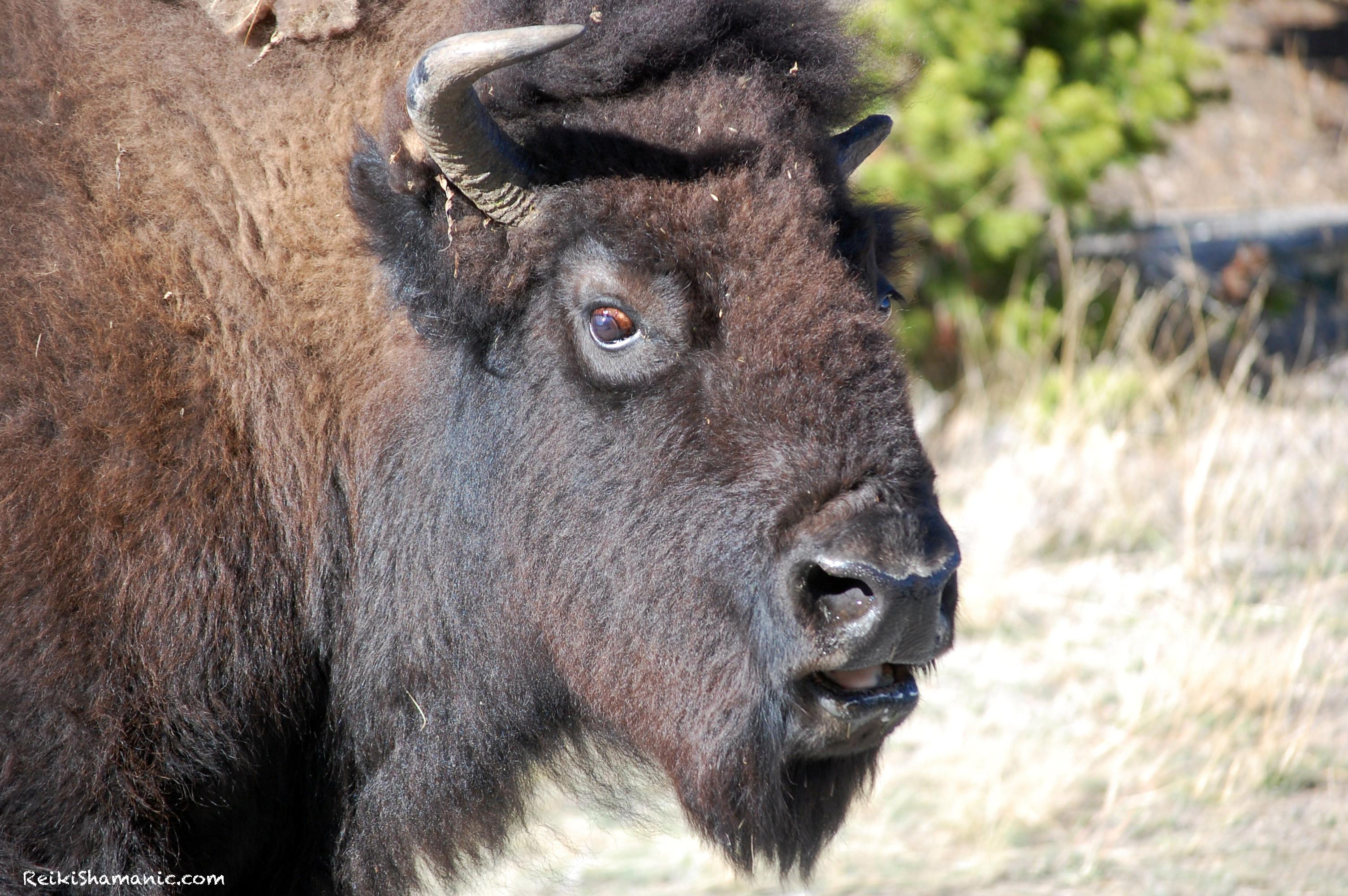 Grandmother Buffalo And The Buffalo Jam