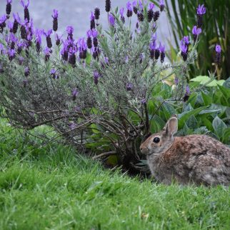 Mama Rabbit received Reiki under the lavendar.