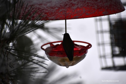 Hummingbird Feeder in Pine Tree, ©Rose De Dan, www.ReikiShamanic.com