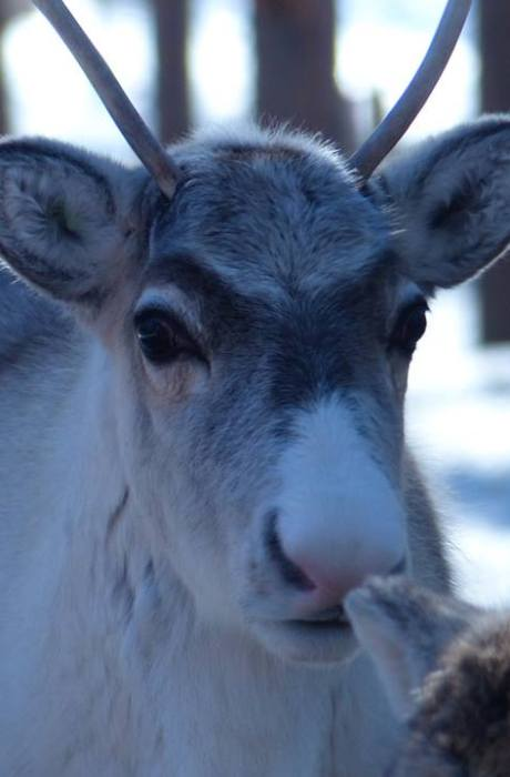 Nose-Masa is an adorable kid who will hopefully grow up as a sleigh reindeer in coming years. He is born in 2018.