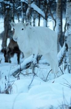 Reindeer Journey Lumikki
