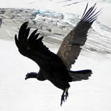 Antecipando a idade do condor
