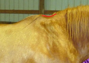 Indentation in horse's crest from winter blanket